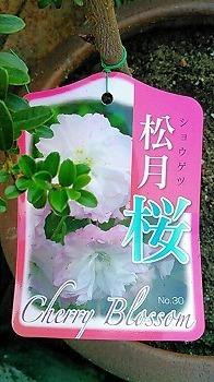 桜 札.jpg